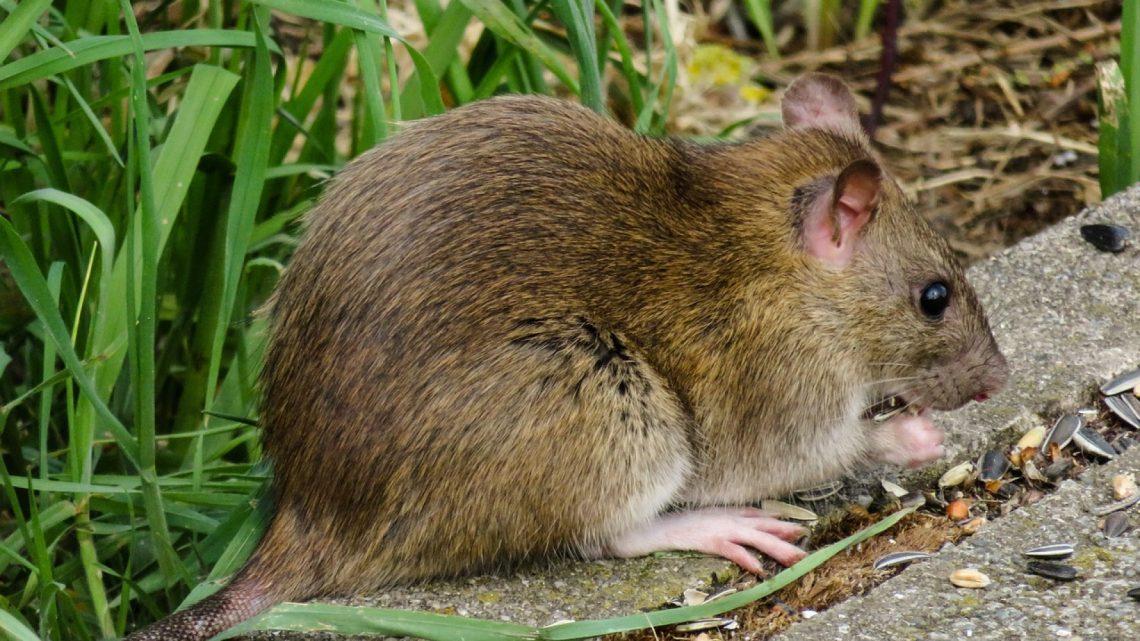 Dératisation à Lyon : quels sont les risques d'une infestation de rongeurs ?